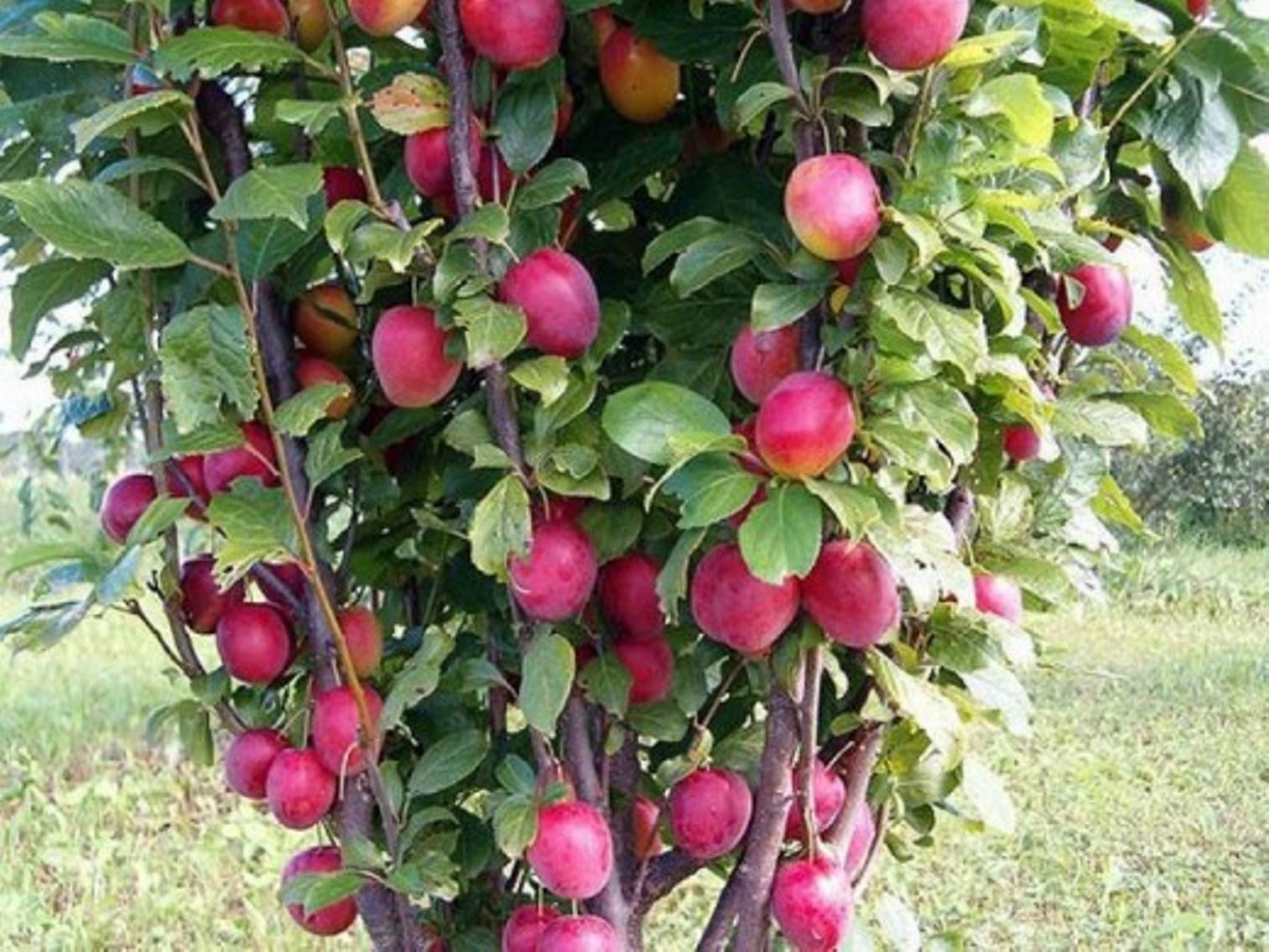 Совместимость плодовых деревьев с другими - «Ваш сад и дача 34